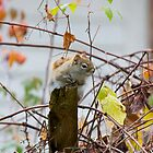 Red Squirrel 2 by Carolyn Clark