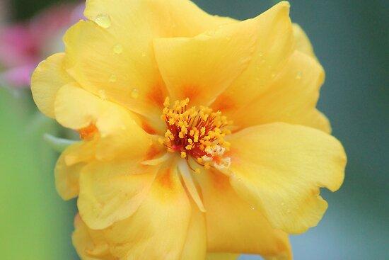 Moss Rose by Bob Hardy