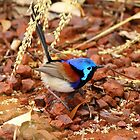 Variegated Fairy Wren by Jillian Holmes