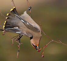 Contortionist Bohemian Waxwing. by Daniel Cadieux