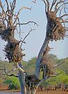 Buffalo Weaverbird nests by Margaret  Hyde