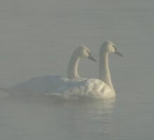 Trumpeter Swans in Morning Fog by pjwuebker