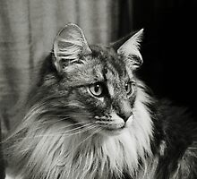 Maine Coon Mono by Carol Bleasdale
