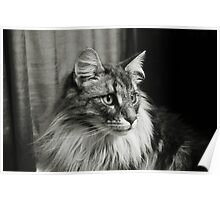 Maine Coon Mono Poster