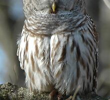 Barred Owl by pjwuebker