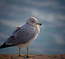 Gull by lumiwa