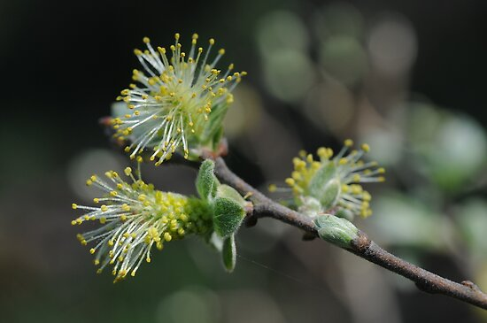 Eared Willow Flowering by cuilcreations