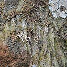 Lichens on an Oak Tree by cuilcreations