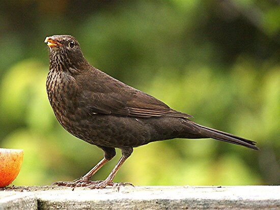 Lady Blackbird.......! by Roy  Massicks