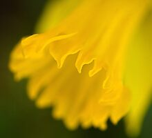 Golden daffodil by Celeste Mookherjee