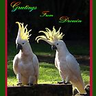 Sulphur Crested Cockatoos - Drouin by Bev Pascoe