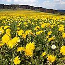 Dandelions & Daisies by Norbert Probst