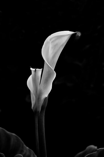 White Lily by Jeffrey  Sinnock