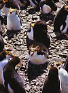 Royal Penguins in the Rookery by Carole-Anne