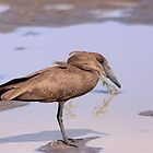 Hamerkop bird by dirt pools, Hluhluwe-Imfolozi game reserve, South Africa 2012 by Michael Field