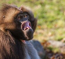 Male Gelada trying to intimidate me by alan shapiro