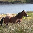 Connemara Pony in the countryside by ConnemaraPony