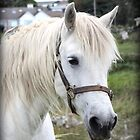 Grey Connemara Pony Mare by ConnemaraPony