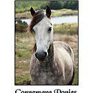 Connemara Ponies 2013 by ConnemaraPony