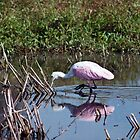 Rosey Spoonbill by RBuey