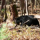 Black Bear Digging For Grubs by kevint