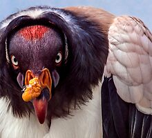 King Vulture trying to intimidate me (with a special shoutout to Steve Randall) by alan shapiro