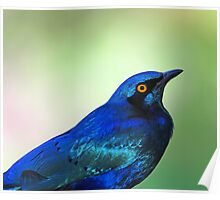 Greater blue eared starling profile Poster