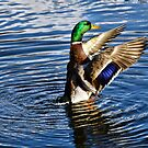 Mallard Malarkey :)  by Susie Peek