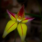 Cowslip Orchid (caladenia flava) by Elaine Teague