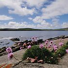 Thrift on cliffs of Mousa, Shetland by Richard Ion