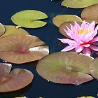 Berit Strawn Water Lily by Robert Armendariz