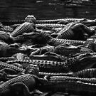 'gators. by neal73