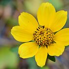 Mexican Sunflower by Dawne Dunton