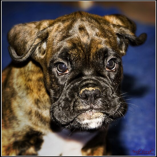 Chestafield Boxer Puppy by Wolf Sverak