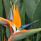 Bird of Paradise by reneecettie