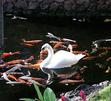 White Swan in Koi Pond by reneecettie