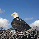 BALD EAGLE IN NEST by TomBaumker