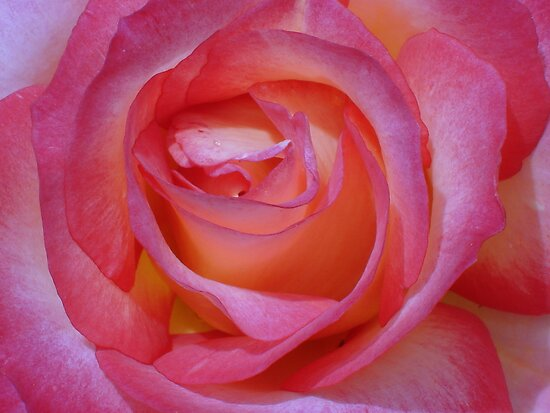 Bright Pink Rose by reneecettie