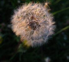 Dizzy Dandelion by MarianBendeth