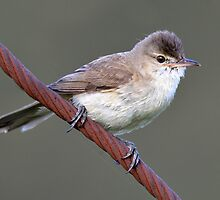 Clamorous Reed Warbler taken at Lake Crackenback by Alwyn Simple