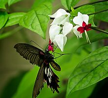 Bleeding Heart Butterfky by StonePhotos