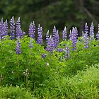 Wild Lupins by Jocelyn Pride