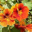 Naustursiums by Elaine Game
