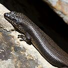 Black Rock Skink by Will Hore-Lacy