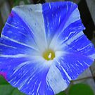 Ipomoea Purpurea by Choux