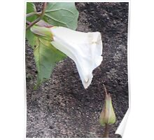 White Flower and bud Poster