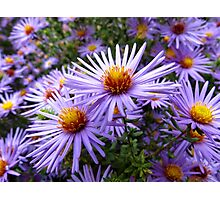 Aster Photographic Print