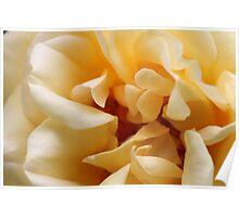 Yellow Rose4 Poster