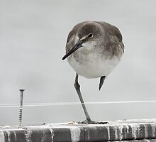Balancing Willet by Carol Bailey White