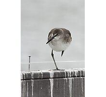 Balancing Willet Photographic Print